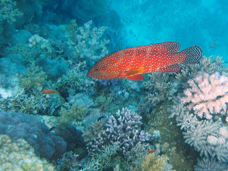 Coral hind (a może: niebiesko nakrapiany granik?). Bardzo ładny i dość często spotykany. Zdjęcie: Wilczy