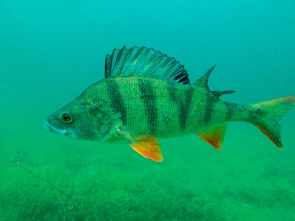 Okoń Zdzisław jest dużą rybą