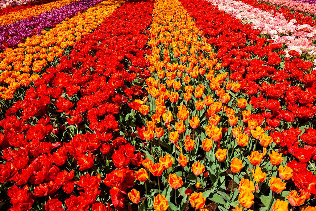 Keukenhof - morze tulipanów