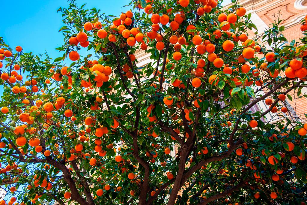 Co zobaczyć w Walencji? Nasze ukochane drzewka pomarańczowe!