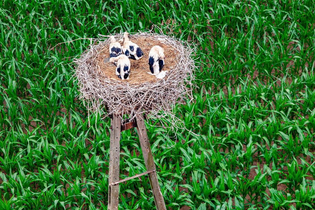 Podlasie - młode bociany w gnieździe