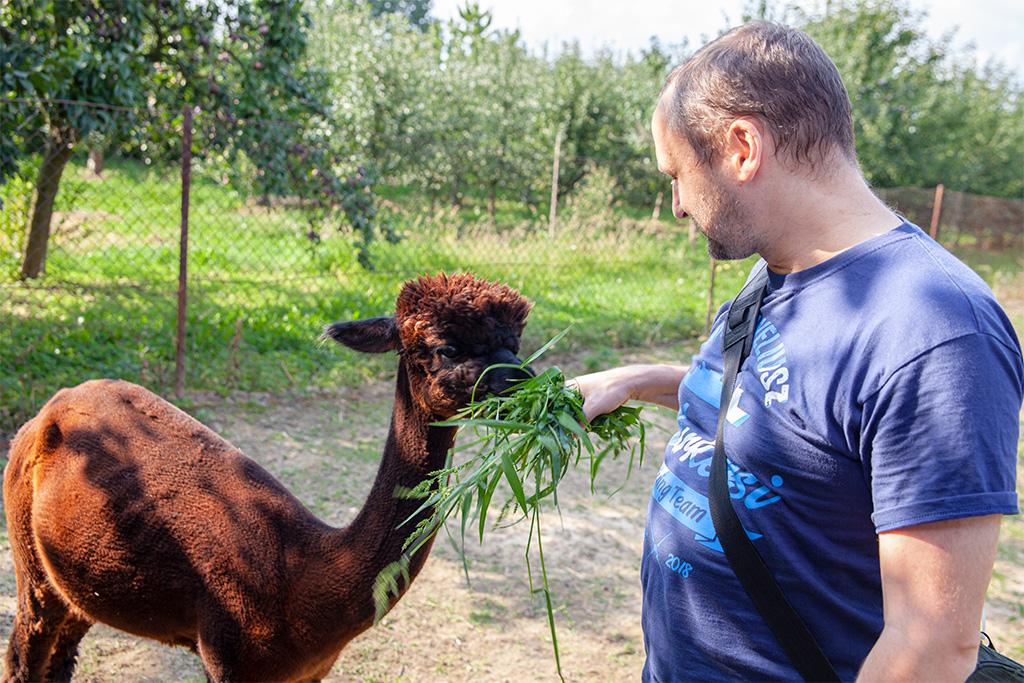 Alpaki karmione smaczną trawą