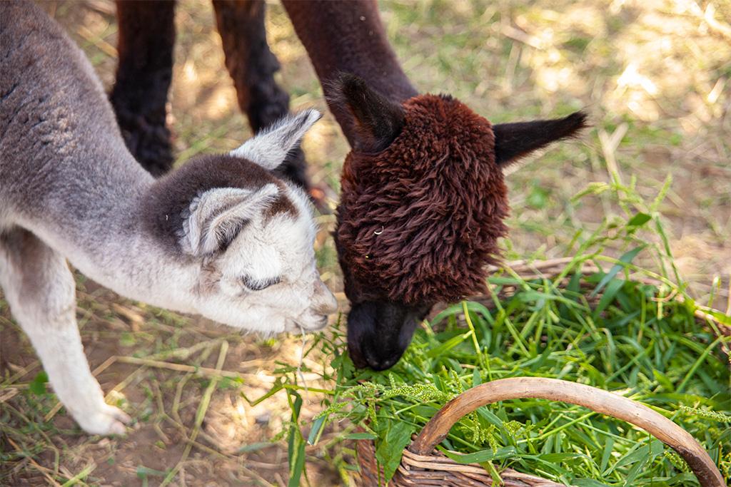 Alpakówka - dwie alpaki