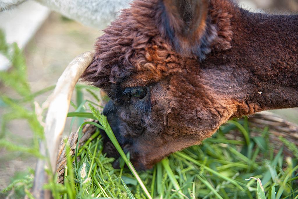 Alpaka pogryza trawę