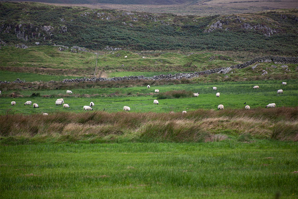 Stado owiec na łące podczas deszczu na Islay