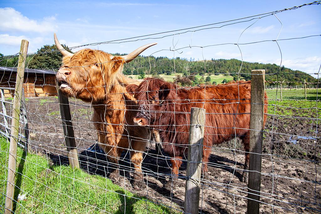 Co zobaczyć w Szkocji – Kudłate górskie krowy (highland coo)