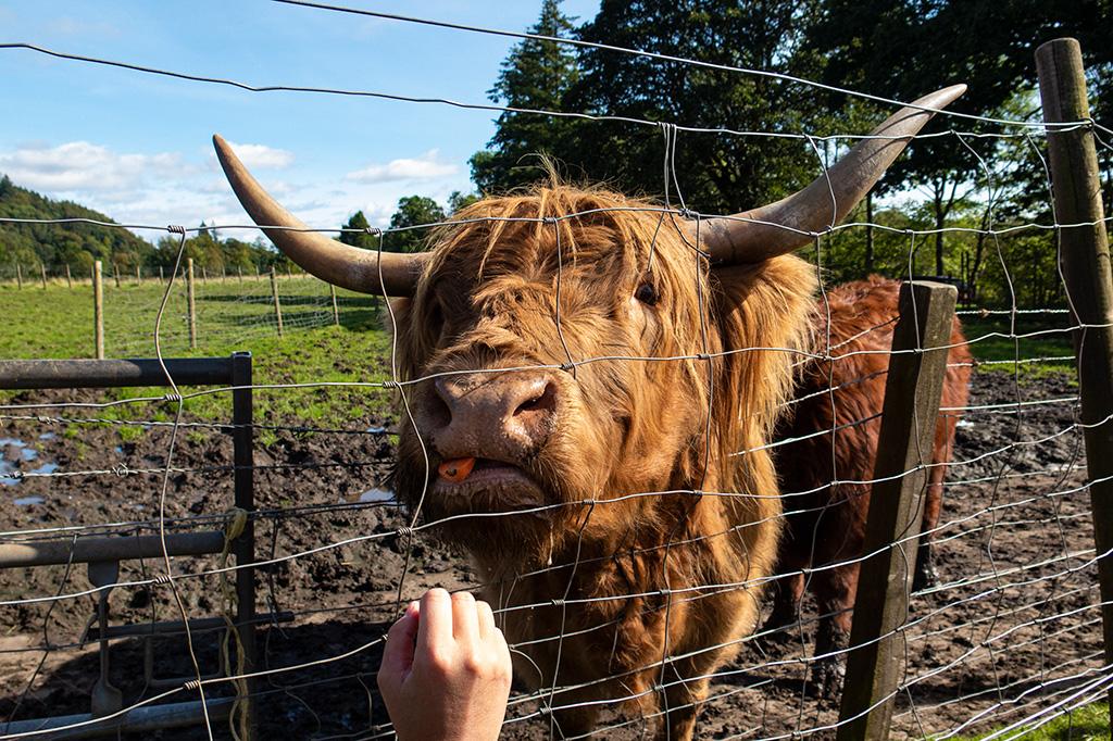 Karmienie krów przez druty