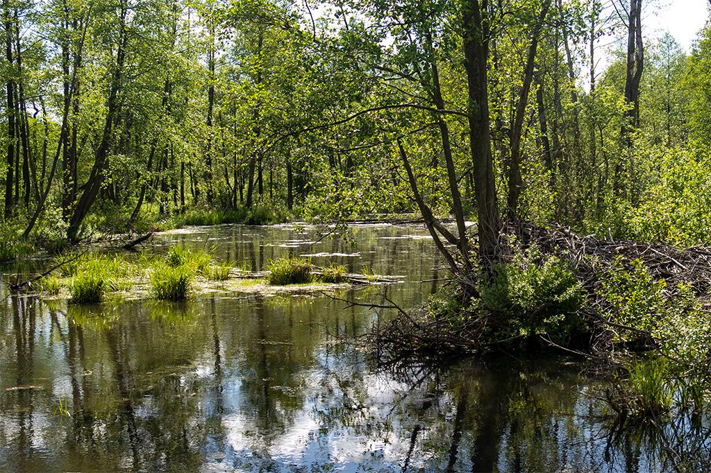Bagno Całowanie to także urocze jeziorko ukryte w lesie