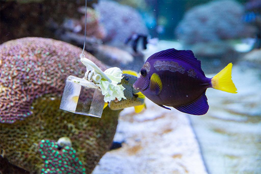 Okazuje się, że ryby chętnie jedzą... sałatę!