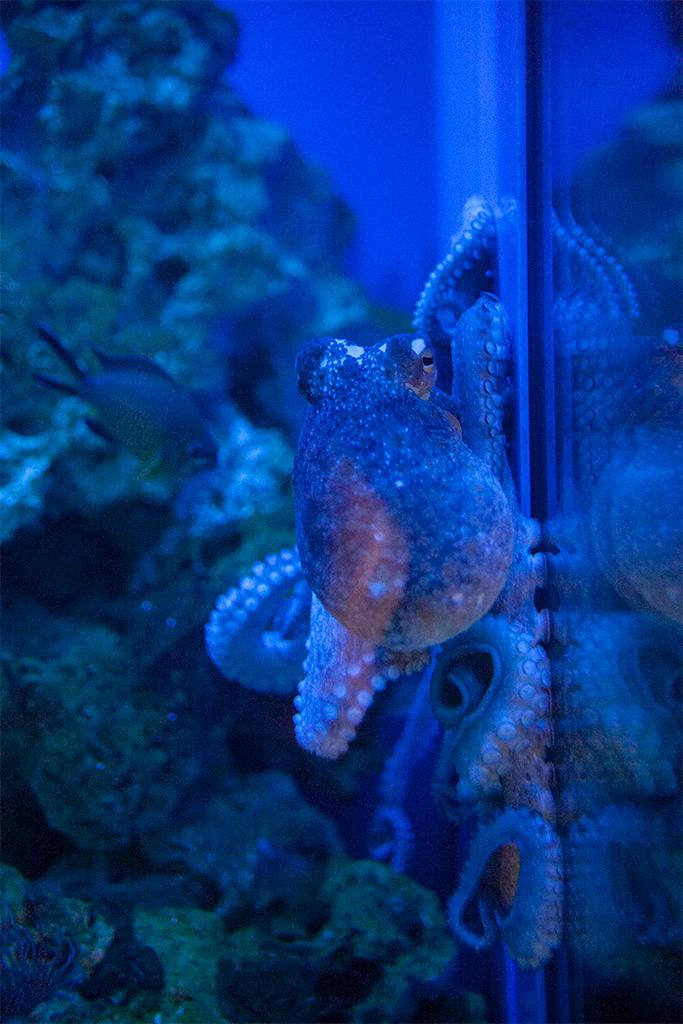 Oraz całkiem spora ośmiornica w za ciasnym akwarium
