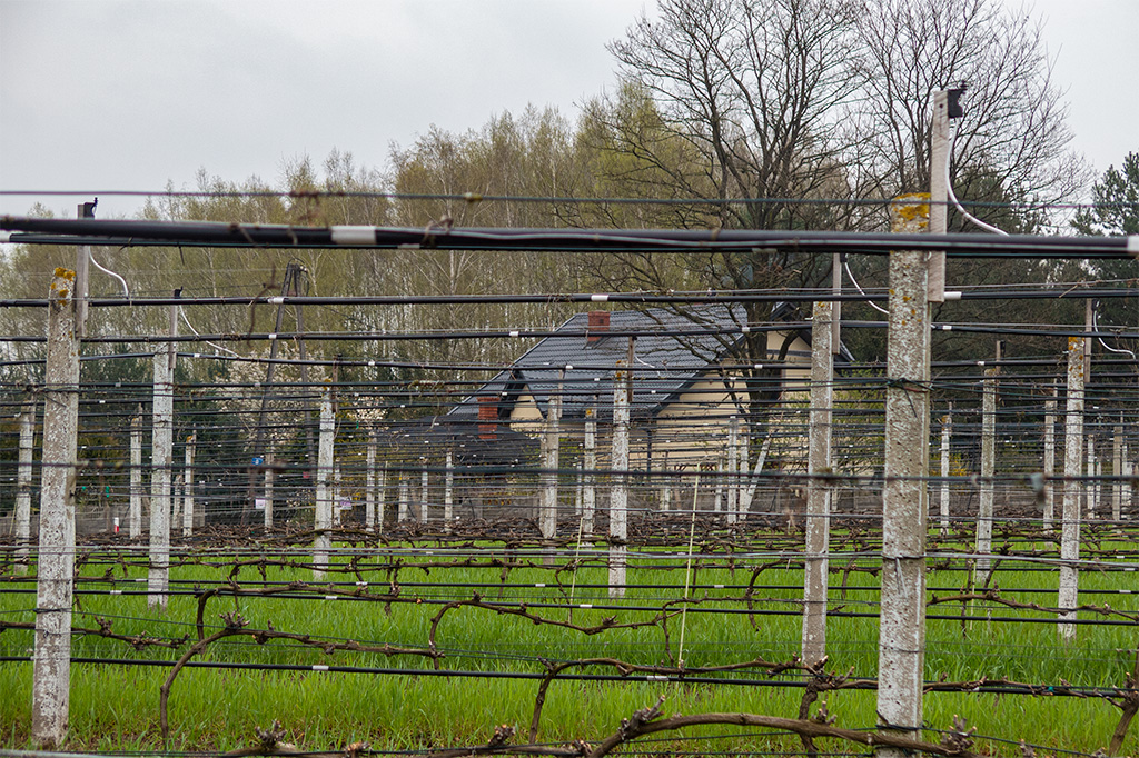 Winnica Dwórzno – pola pełne winorośli
