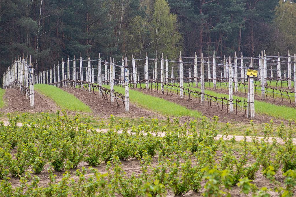 Winnica Dwórzno – uprawy winorośli