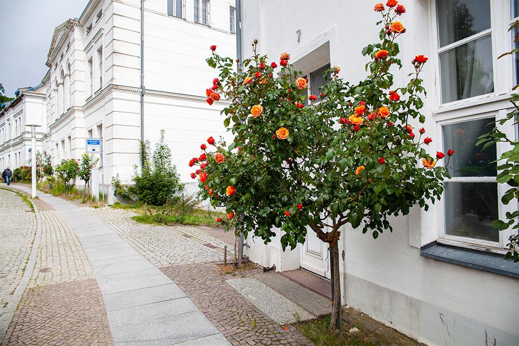 Rugia, Putbus – różane drzewka w centrum miasta