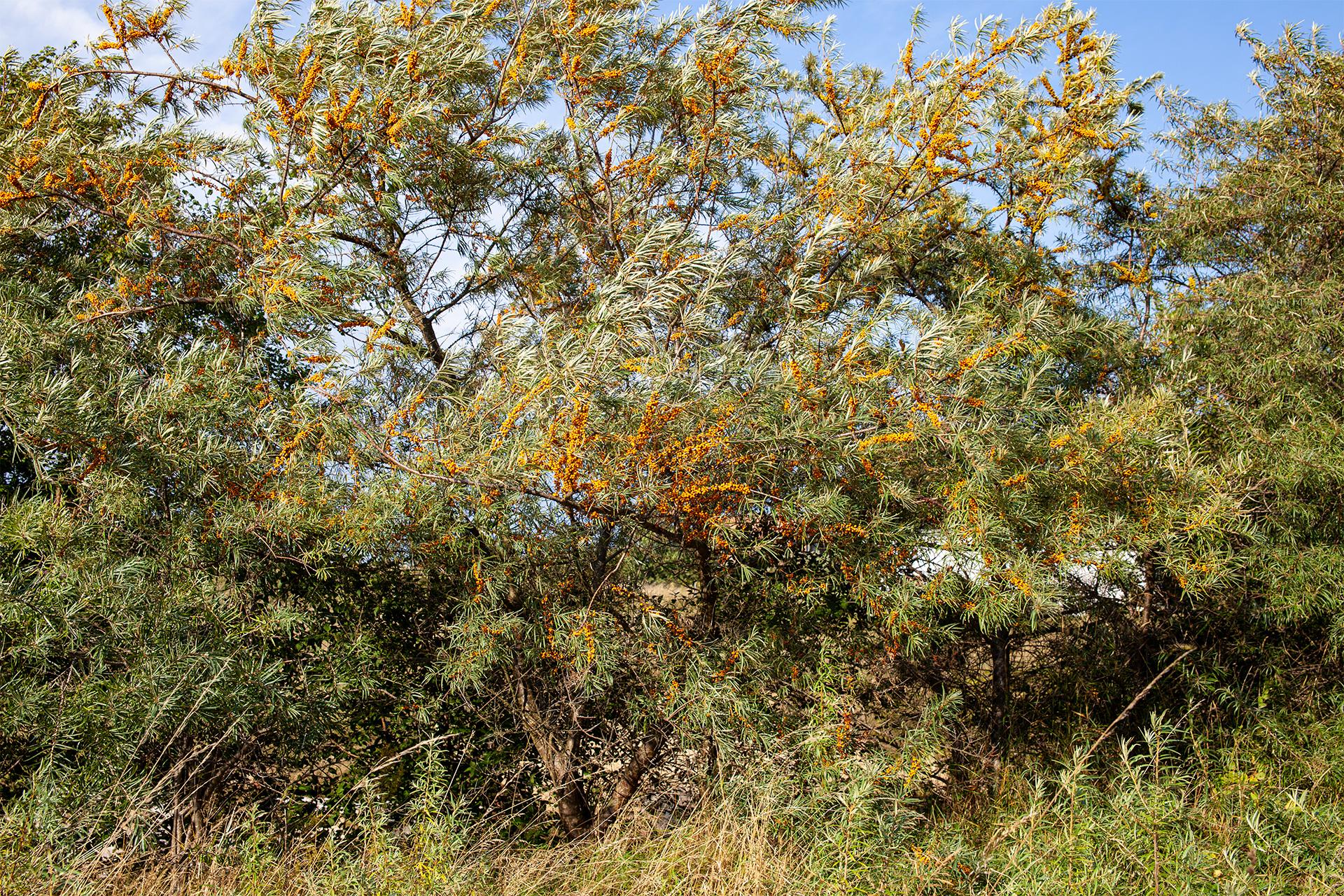 Rugia –duże krzewy rokitnika