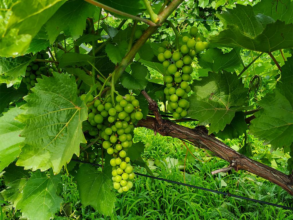 Winnica Mazovia – polskie winogrona
